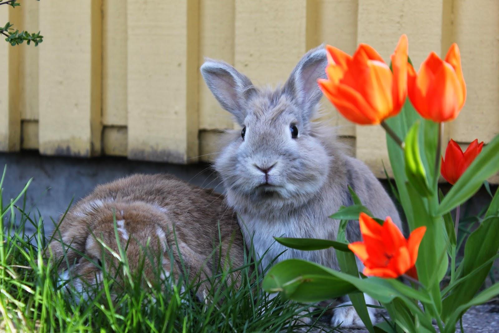 Гібриди кролівництво