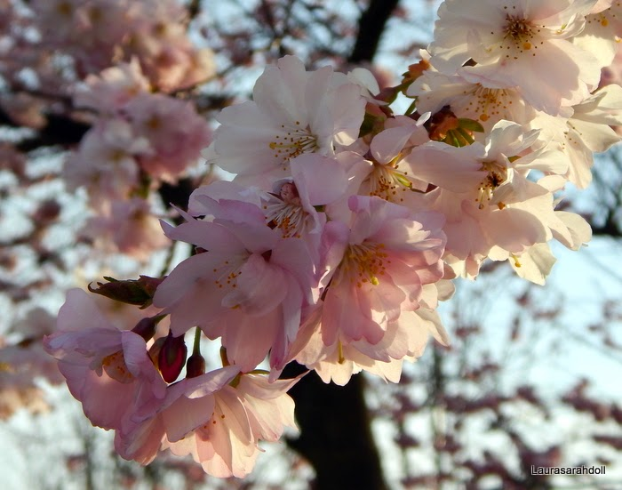 My first lovely thing is Cherry Blossoms