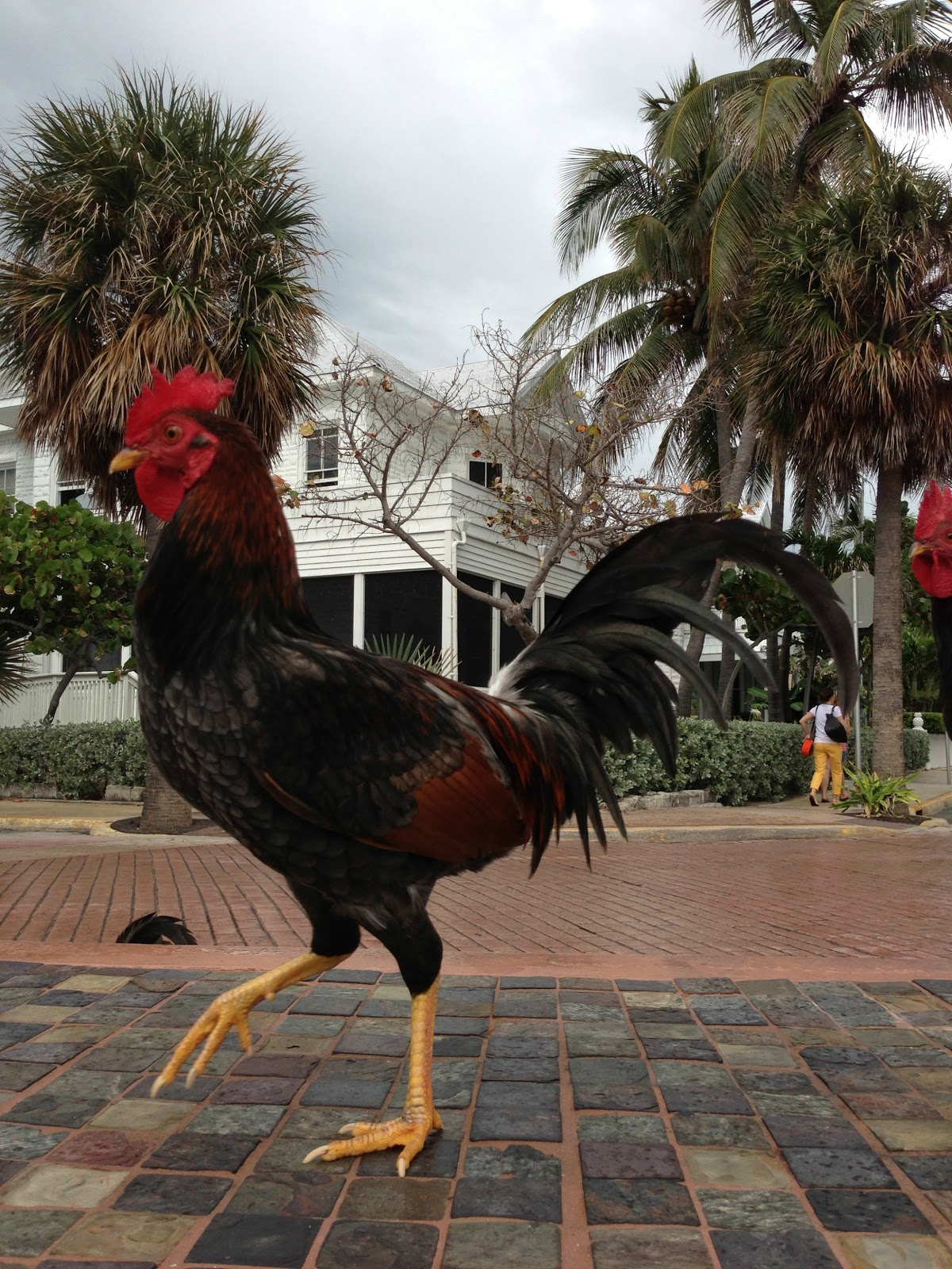 the time being, the chickens are left to range Key West. For a chicken ...