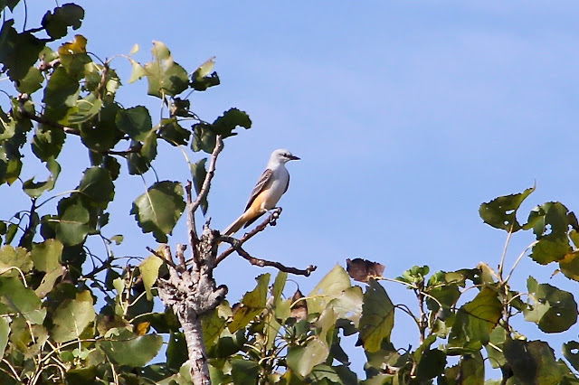 Scissor-tailed Flycatcher in Cottonwood Tree