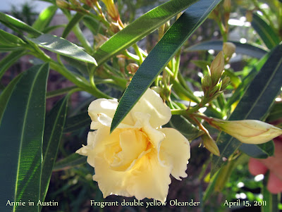 Annieinaustin,double yellow oleander