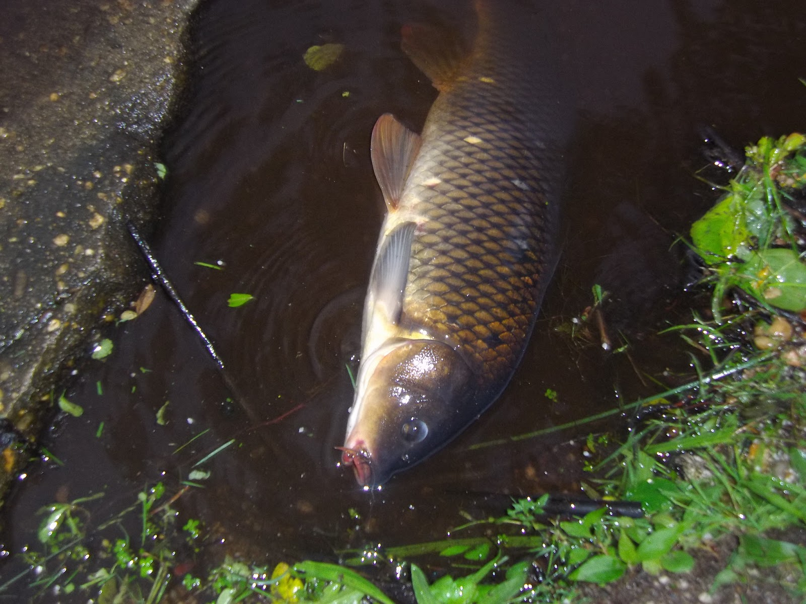 Long island fly fishing for carp the great lakes of nyc for Carp fly fishing