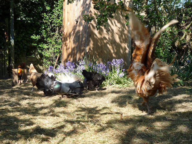 Chamois white-lace Polish rosster cockerel and friends