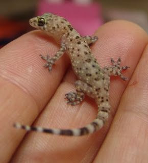 Our Herp Class Natural History The Mediterranean House Gecko