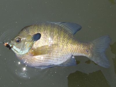 North american freshwater fishing tips for catching for North american freshwater fish