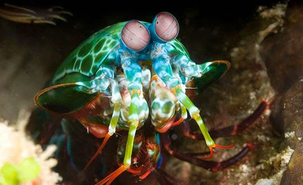 Animals You May Not Have Known Existed - Mantis Shrimp