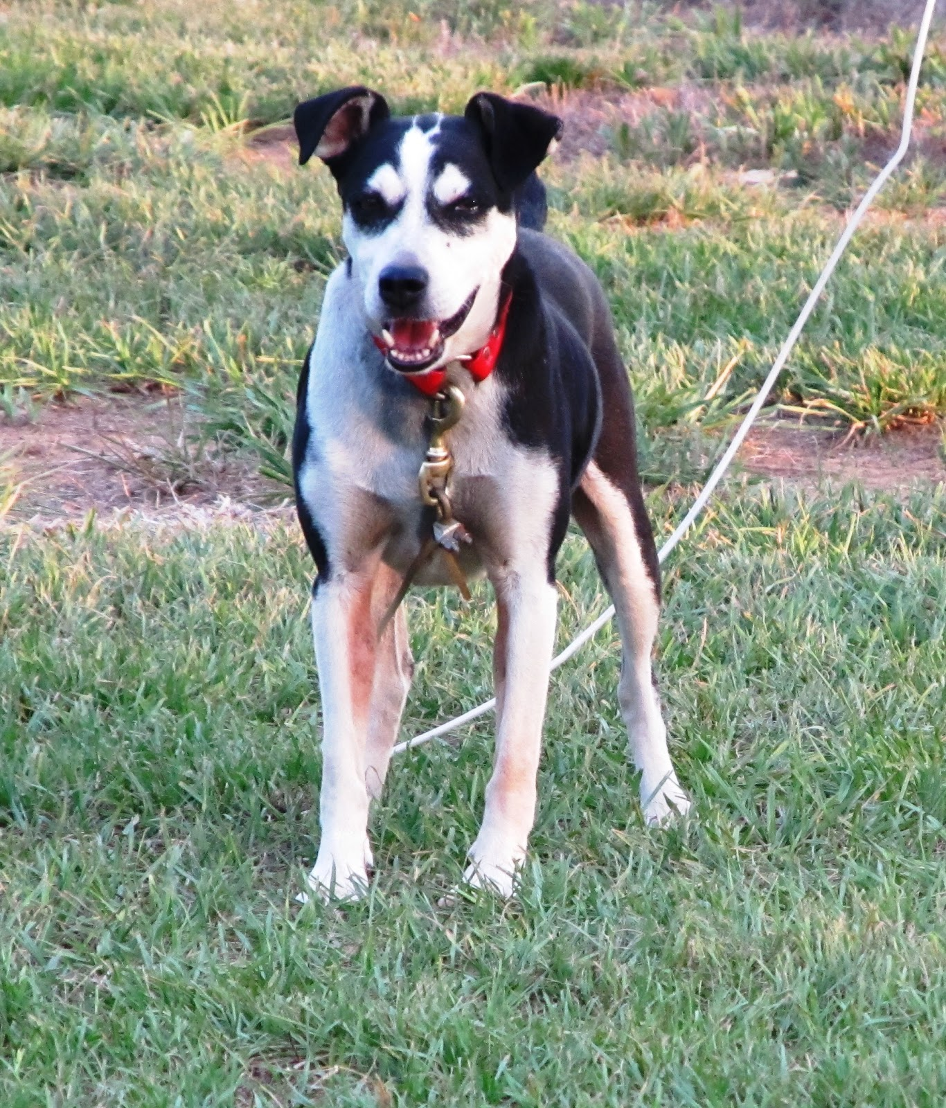 Squirrel Hunting Dogs For Sale In Tn