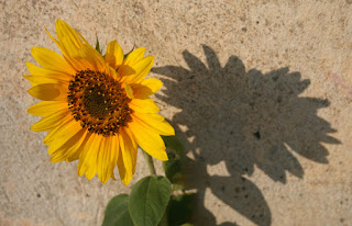 Sun flower with shadow