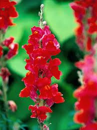 Growing Planting Snapdragon Flowers In The Garden