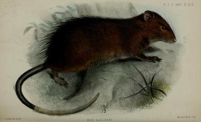 extinct rats