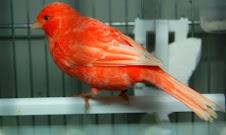 Rojo Nevado
