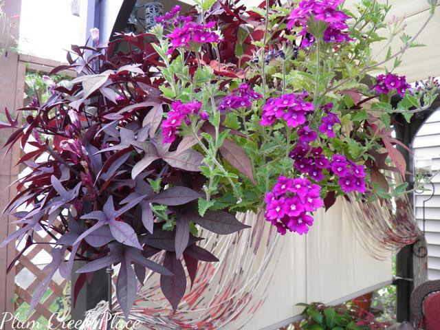 sweet potato vine, hanging basket, mixed foliage
