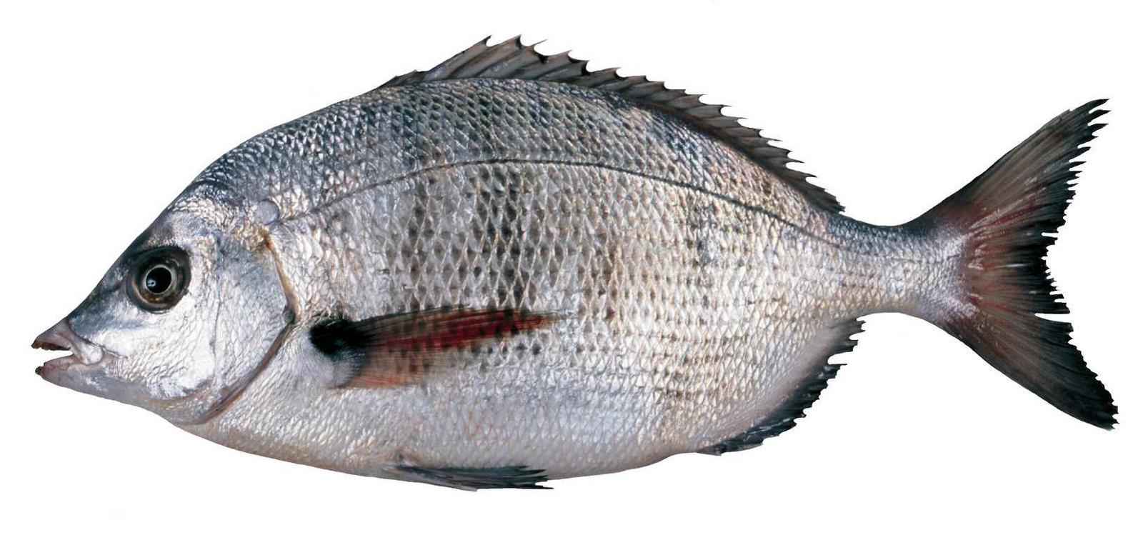 Artes de pesca vamos a pescar sargo picudo - Fotos de peces del mediterraneo ...