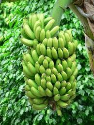 Gifts: Birthday, anniversary, special occasions, planting and gifting banana trees is considered auspicious.