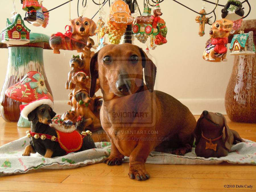 Thrice Tenth Kingdom: New Ringo Photos: Christmas Dachshund ...