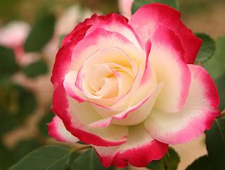 http://1.bp.blogspot.com/-tMLD54WYi3A/Tef3jp0a1KI/AAAAAAAABgo/BEjG8lgiC-Q/s320/red+white+rose.jpg