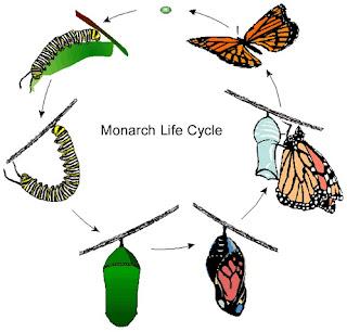 daur hidup kupu-kupu | metamorfosis kupu-kupu