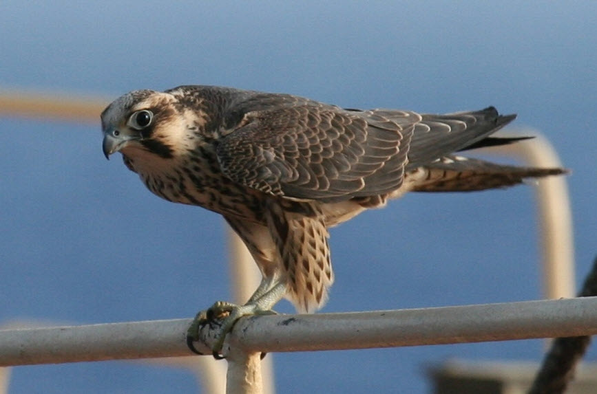 Peregrine Falcon Wingspan World Peregrine Falcon