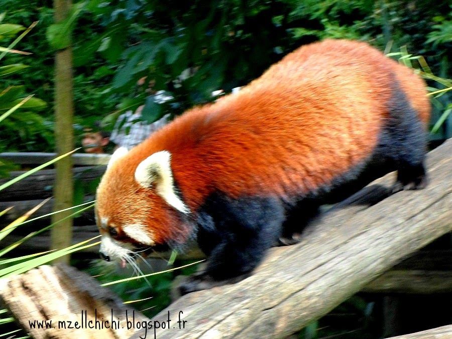 Zoo-Pessac-Panda-Roux-Mauricette