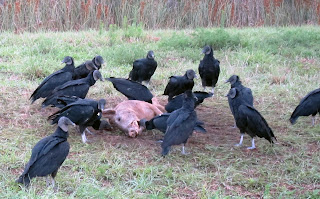 florida vultures eating dead pig, black, vulture