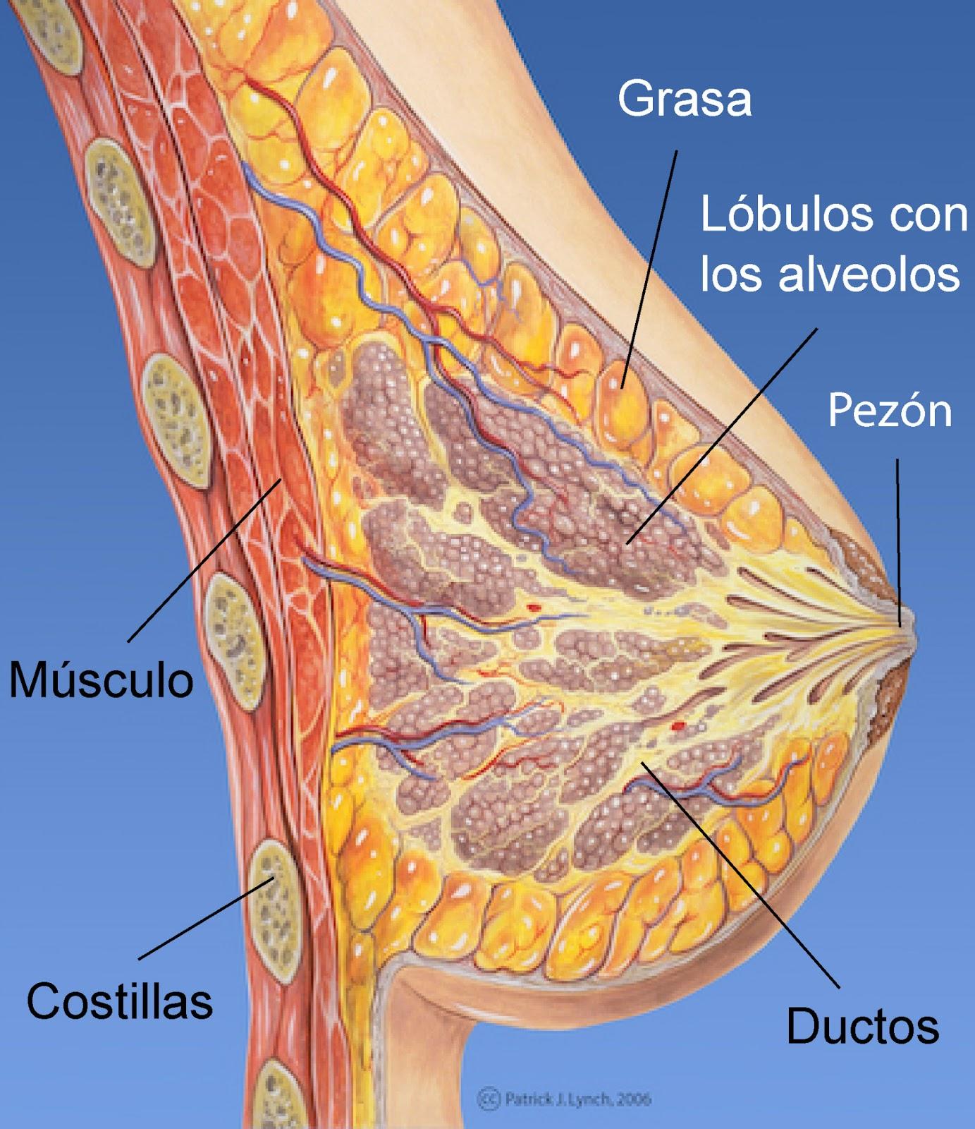 Morfología de la mama y sus partes