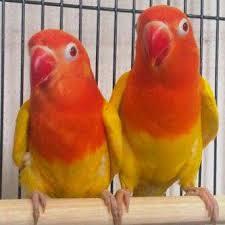 Harga LoveBird Lutino Mata Merah Berdasarkan Umur
