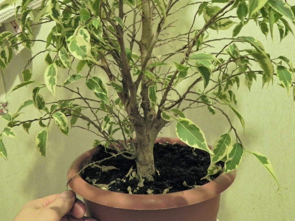 Выращивание фикуса пестролистного 95