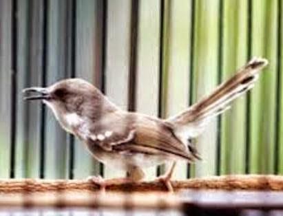 Foto Burung Ciblek Terbaik