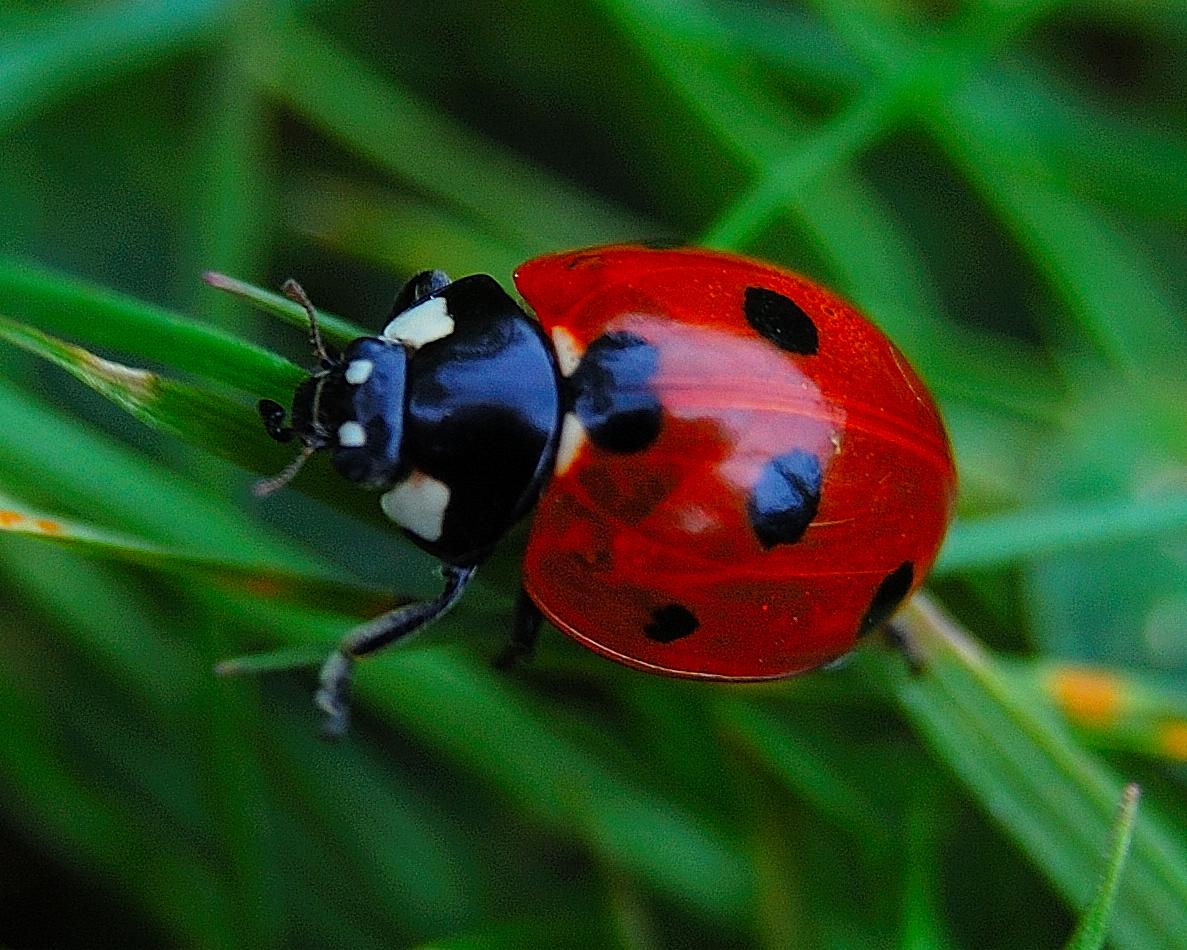 ladybirds - photo #11