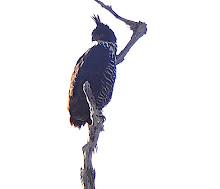 Blyth's Hawk-eagle_2011