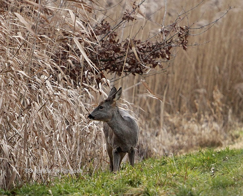 Roe Deer in the reed