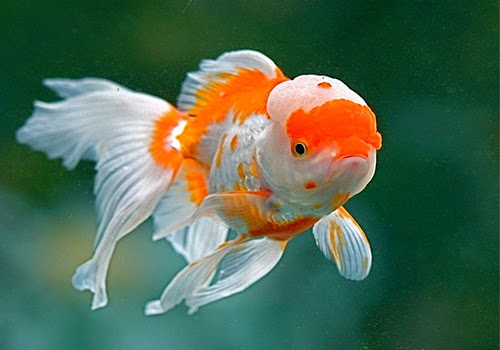 GOLD FISH: Types of Goldfish
