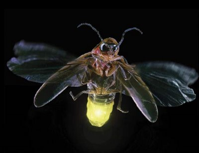 Firefly is an insect that can give off light previously when I was a kid
