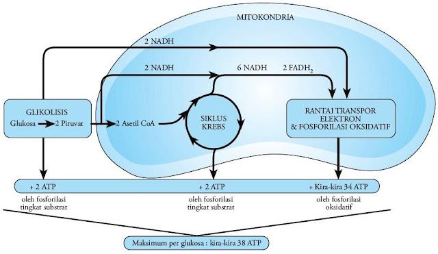 Molekul-ATP-hasil-respirasi-aerobik-1-molekul-glukosa