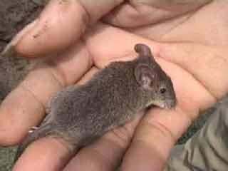 Ekologi Tikus (Rattus argentiventer)