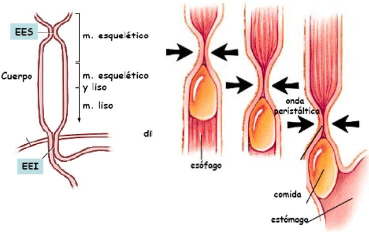 El Rincon de Medicina: Esofago