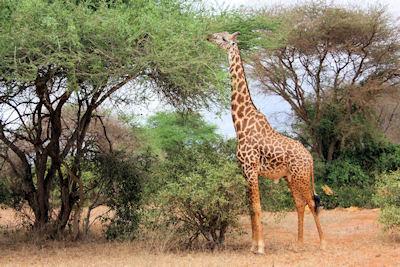 Jirafa comiendo en la sabana de Africa - Wild Animals