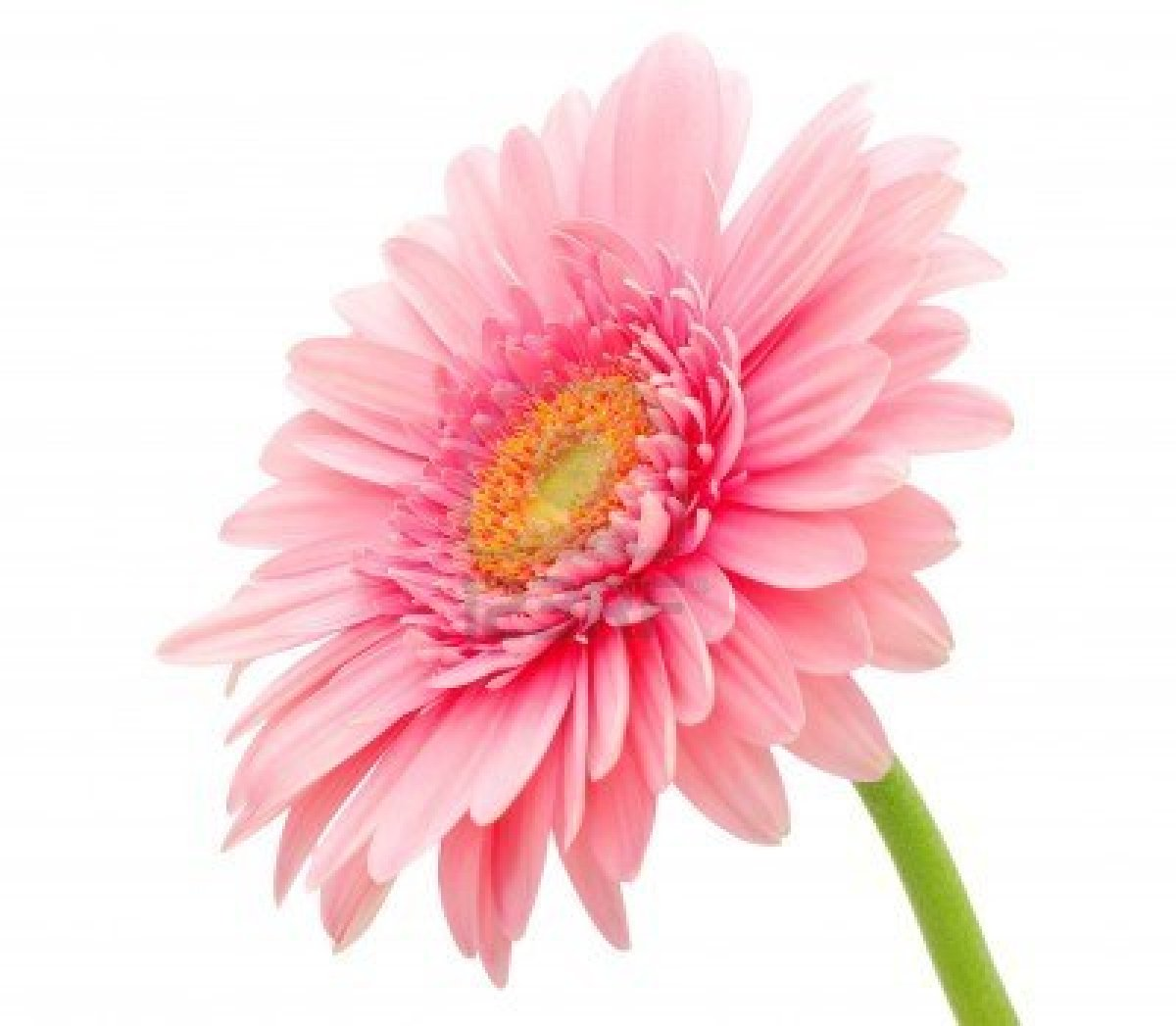 Beautiful Wallpapers: gerbera and daisy flower wallpaper