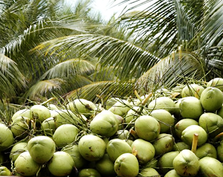 How to Growing a Organic Coconut Farming Business