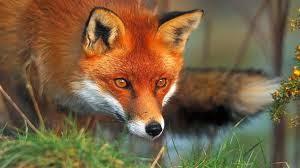 Cuidado que a amada deve ter com as raposas e raposinhas que querem destruir a vinha.