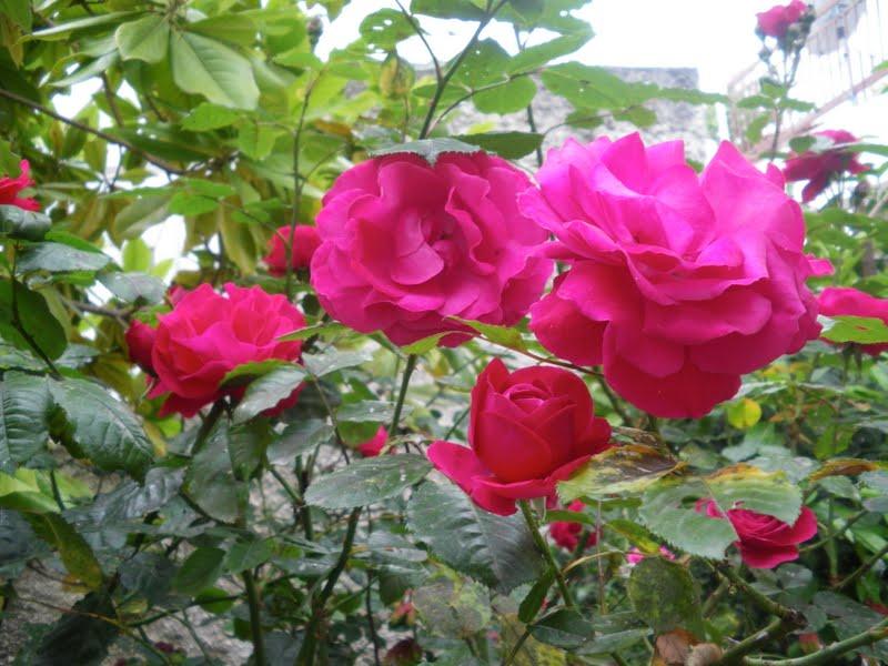 rosas do meu jardim para faceUma Brasileira na Grécia Flores do meu