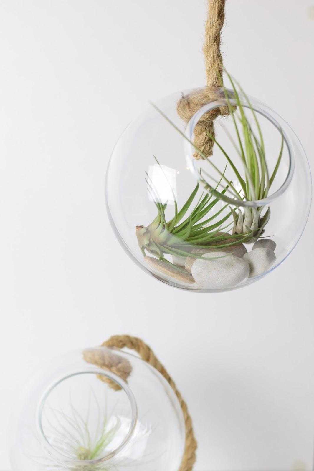 Tillandsien Kaufen zimtzebra airplants meine tillandsien im glasball