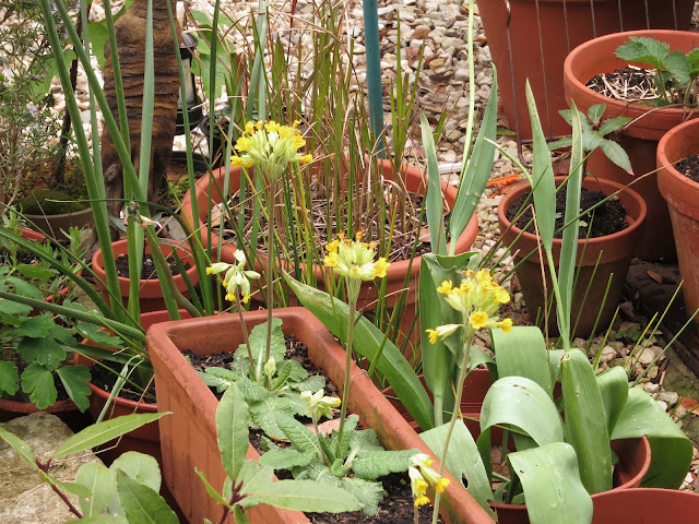 Cowslips in terracotta pot.