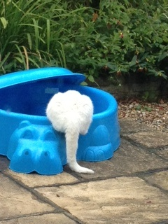 white cat drinking from blue hippo paddling pool / sandpit