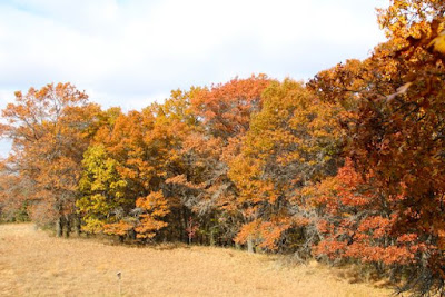 Autumn oaks in bronzes and browns