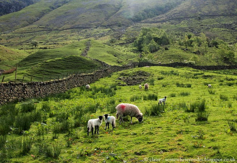 Cute lambs - climbing Scafell Pike, England