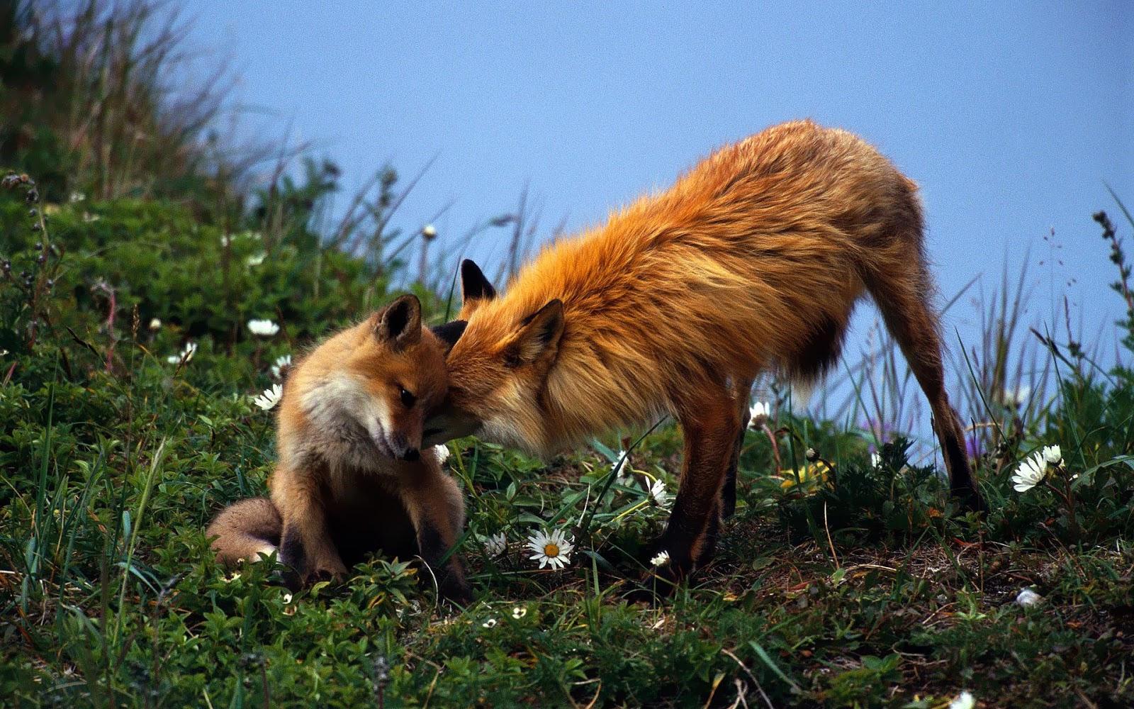 http://1.bp.blogspot.com/-tRMP_mBY5ms/UNWH6_mFGII/AAAAAAAAJec/Dexth6KpIRY/s1600/wallpaper-of-two-cuddling-red-foxes-hd-animals-wallpapers.jpg