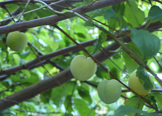 Green and Yellow Apricots in Green Foliage