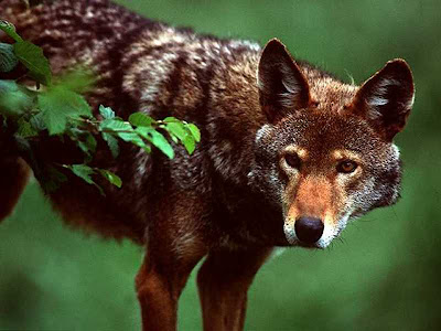 Red Wolf pictures and life in nature