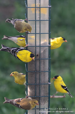 American Goldfinches. Photo © Shelley Banks, all rights reserved.